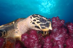 Yongala Turtle by Andy Lerner