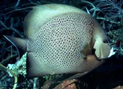 'GRAY LADY DOWN' One of the 'classic' Caribbean reef dwel... by Rick Tegeler