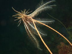 the crinoid Antedon rosacea on gorgonean Primnoella chile... by Cesar Cardenas