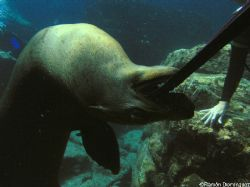Sea lion playing with a diver fin, at Los Islotes, Sea of... by Ramón Domínguez