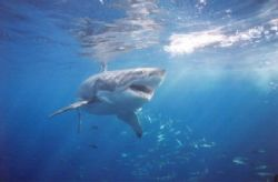 Great white. 20mm lense by John Bonior