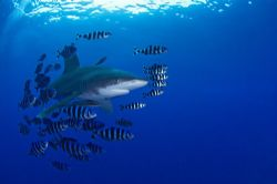 Longimanus with a lot of pilot fishes and remora; Elphing... by Jean-Louis Danan