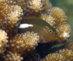 Arceye Hawkfish. Photo taken in Haleiwa, HI- about 12 ft ... by Mathew Cook