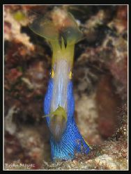 Blue Ribbon Eel looks almost alien like in this wide open... by Brian Mayes