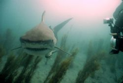 Tiger shark, used my DC500 Sealife camera w/ wide angle l... by Eric Cullen