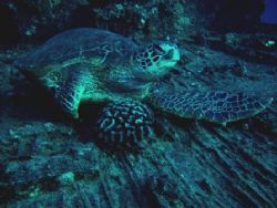 this green sea turtle was ralxing on a wreck called the Y... by Gabriel Guerra