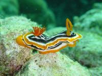Chromodoris magnifica from sulawesi by David Thompson