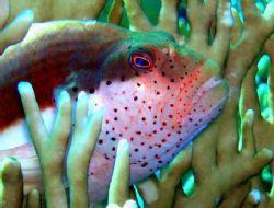 Little Hawifish resting on the Fire Coral. Gordon Reef, T... by Erich Reboucas