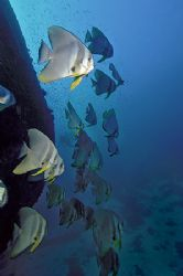 nik D200+SB 800 - Batfish - Ari Atoll by Manfred Bail