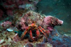Hermit Crab (Dardanus megistos) - Sitting at the forward ... by David Drake