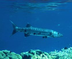 'GIANT Barracuda' ...... in the shallows. Enjoy! by Rick Tegeler