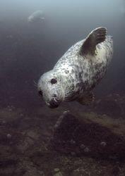 Grey seal. Farne Islands. D200,16mm. by Mark Thomas
