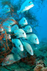 A lot of sweetlips in Nosy Be. by Ugo Gaggeri