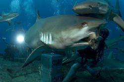 Caribbean reef shark captured during Stuart Cove;s Shark ... by Sally Thomson