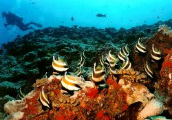 School of Banner Fish, Rangiroa Atoll, 