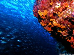School of Harengula thrissina and orange cup coral, two o... by Ramón Domínguez