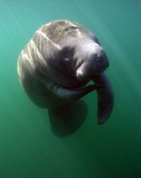 Manatee in afternoon Light.Taken at Crystal River,FL. by Ray Eccleston
