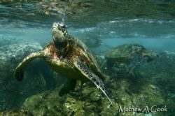 Honu in Shallows. Photo taken at Sharks Cove, HI- natural... by Mathew Cook