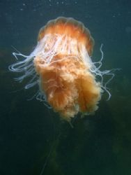 A subantartic jellyfish taken at the Strait of Magellan, ... by Cesar Cardenas