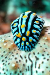 Phyllidia on sea cocumber. Nosy Tanikely by Ugo Gaggeri