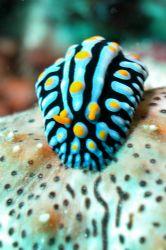 Phyllidia on sea cocumber. Nosy Tanikely by Ugo Gaggeri