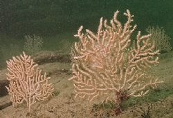 Pink sea fans. Udder rock, Cornwall. D200,16mm. by Mark Thomas