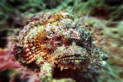 nik D200 - SB800 - sealux housing - scorpionfish by Manfred Bail