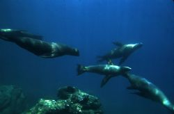 'FLY BY' Sea lions at play. Sea of Cortez; natural light.... by Rick Tegeler