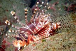 Lionfish - This beauty was just laying there pretty as yo... by David Drake