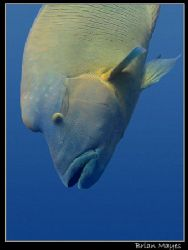 I spotted this Maori Wrasse, head down, being cleaned. Th... by Brian Mayes
