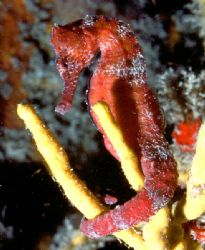 'RED SEAHORSE' Kinda says it all, tho' this fella was try... by Rick Tegeler