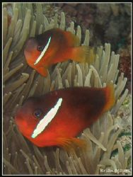 A couple of Dusky Anemonefish from Taveuni, Fiji. Canon A... by Brian Mayes
