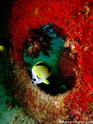 Butterfly fish framed by the Salvatierra shipwreck near L... by Ramón Domínguez