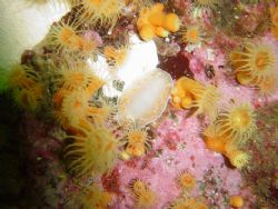 Tyrinna nobilis from Chilean Patagonia by David Thompson