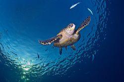Flying turtle, D200, 10.5mm by Jean-Louis Danan