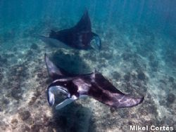 Mantas. This photo was taken while snorkeling, with no st... by Mikel Cortes