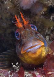 Friendly Welsh tompot blenny.