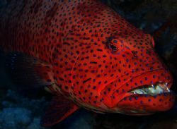 coral trout taken at elphinstone, he was a big fella at 3... by Matt Andrew