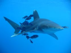 Oceanic Reef Shark with Pilot fish by Michael Moore