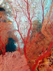 Amazing wall of red Coral. Great Barrier Reef by Joshua Miles