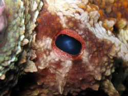 An Eye Of An Octapus. Taken By Canon A640 By Christopher ... by Christopher Cocks