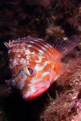 Serranus cabrilla. This photo was taken in Bermeo. E900, ... by Mikel Cortes
