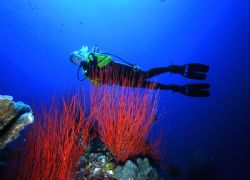 'INGLES SHOAL' Red sea whips found in abundance at Walind... by Rick Tegeler