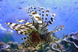 nik D200 - SB800 - Ari Atoll - Lionfish by Manfred Bail