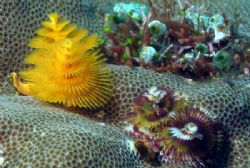 Christmas Tree Worms - Delightfully delicate variety of c... by David Drake