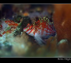 Dwarf Hawkfish from Taveuni, Fiji. Canon A70 and internal... by Brian Mayes