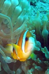 Anemonefish - Relaxed encounter during SDI Solo Diver com... by David Drake