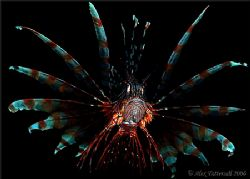 Beautiful lionfish in Banka island... Canon 400D 60mm mac... by Alex Tattersall