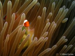 Clown fish. What I like from this photo is the anemone mo... by Mikel Cortes