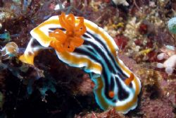 Nudibranch - Delighted the gills are visible in such fine... by David Drake